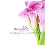 Hình Hoa Đẹp – Tulip